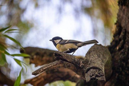 tit  bird  nature