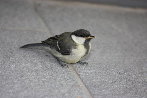 tit bird tile flooring
