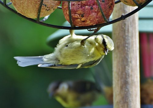 tit  songbird  small bird