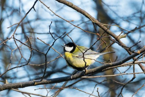 tit bird spring