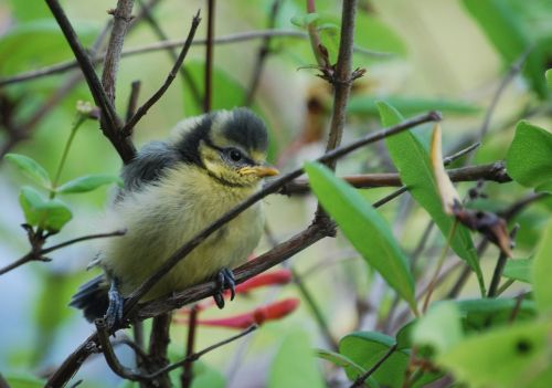 tit chicks young