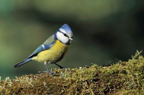 tit modra bird moss