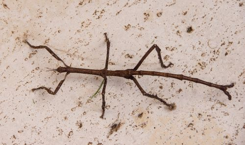 titan stick insect stick insect insect