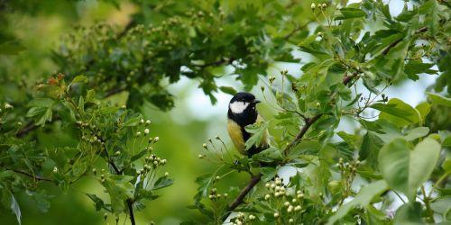 titmouse bird spring