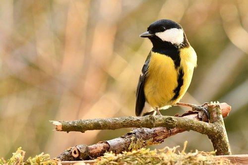 titmouse  bird  forest