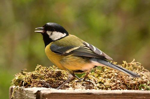titmouse  bird  animal