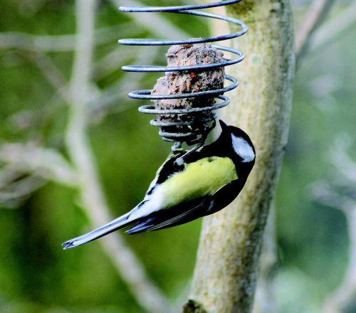 titmouse bird natural