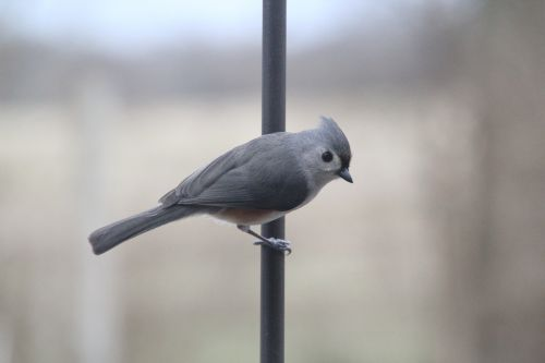 titmouse tufted titmouse bird
