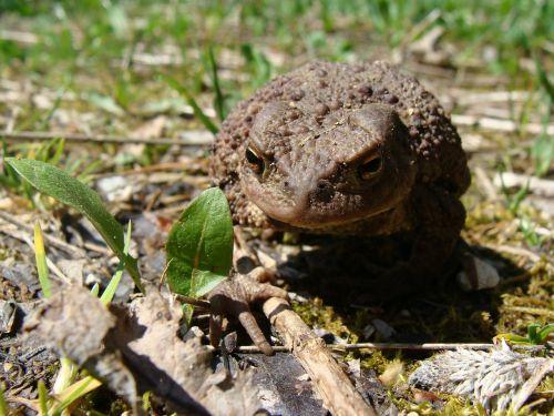 toad animal world amphibian