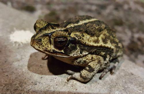 toad gulf coast toad croak