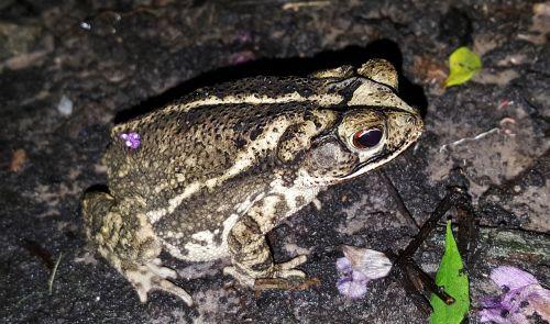 toad gulf coast toad amphibian