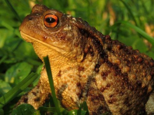 toad anuran amphibian