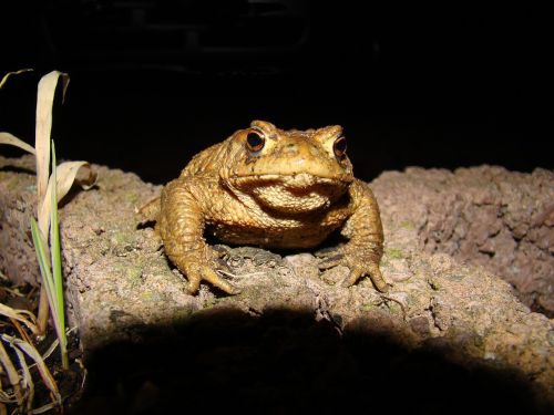 toad common toad moist
