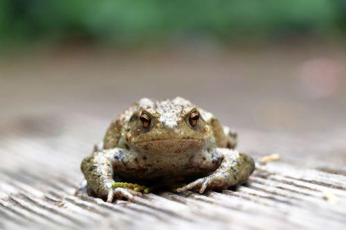 toad animals amphibian