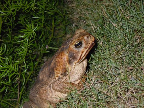toad frog road toad