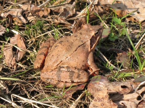 toad ground toad frog