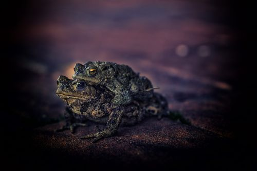 toad animals real toad