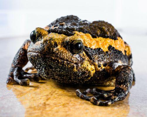toad anuran frog