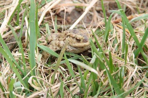 toad  grass  amphibians
