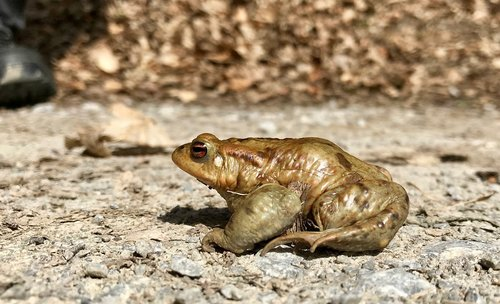 toad  amphibians  water creature