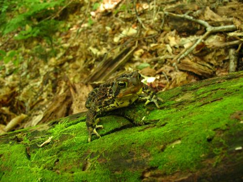 toad frog woods