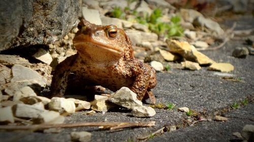 toad frog urmonster