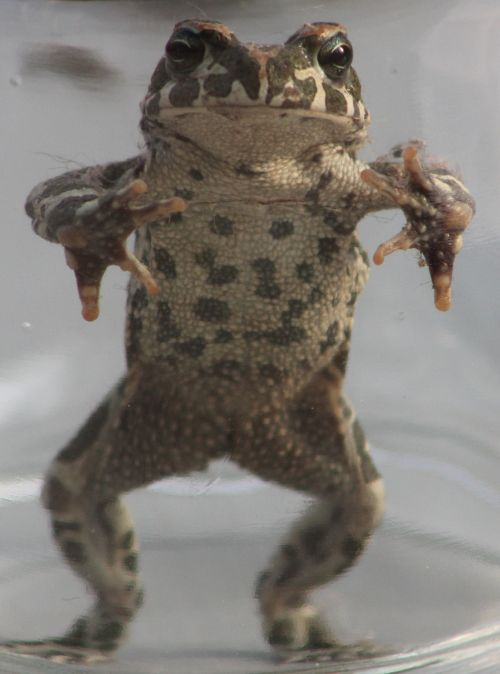 toad stretched eye contact