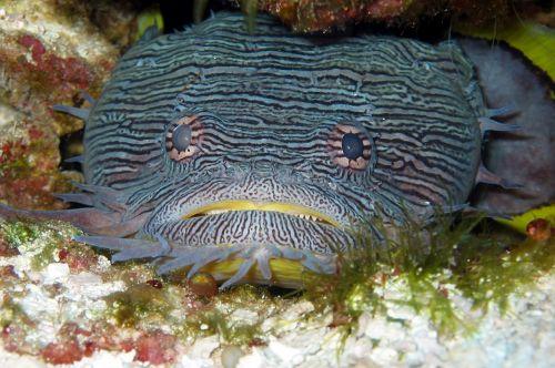 toadfish splendid fishes