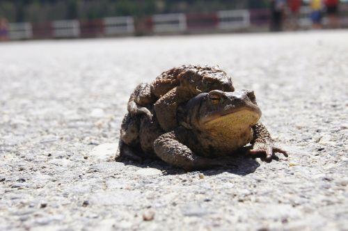 toads frog romania