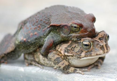toads frogs mating