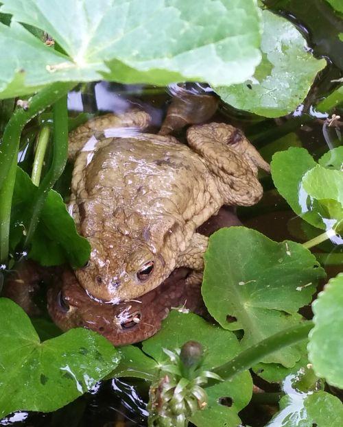 toads unken spawn