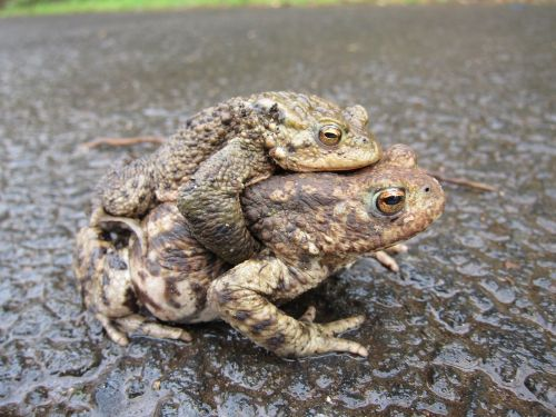 toads common mating