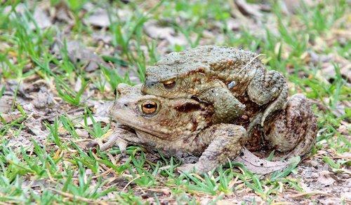 toads  nature  animal