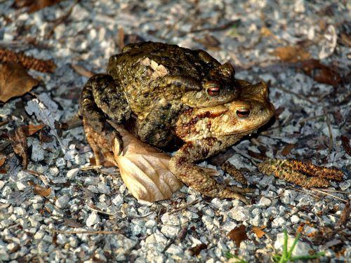 toads amphibians water