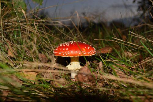 toadstool mushroom fly agaric