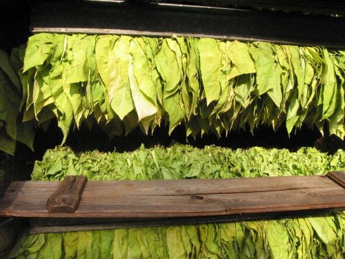 tobacco tobacco leaves tobacco serious