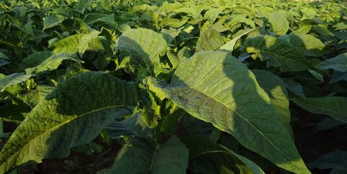 tobacco nicotiana tabacum leaves