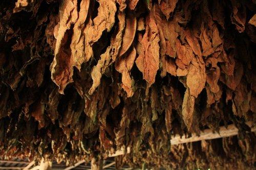 tobacco  leaves  leaf