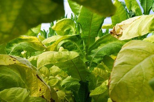 tobacco  plant  leaf