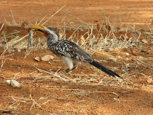 toko  yellow-billed hornbill  grasshopper