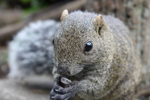 tokyo squirrel animal