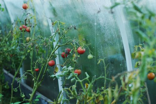 tomatoes greenhouse dacha