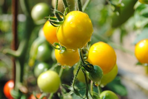 tomato yellow vegetable garden
