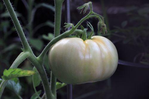 tomato food nutrition