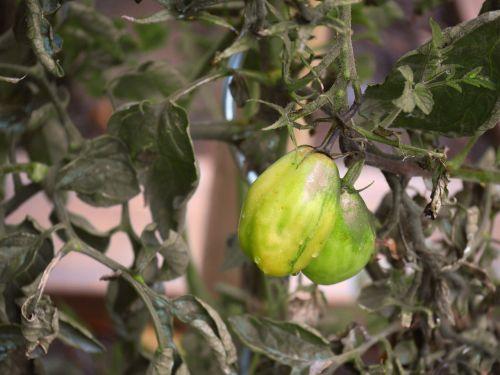 tomato black plum garden