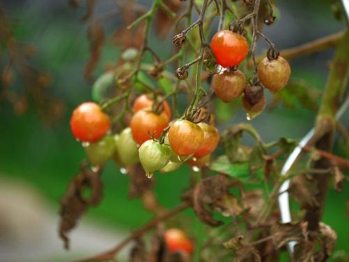 tomato garden vegetables