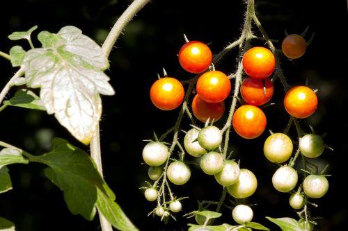 tomato solanum lycopersicum paradeisapfel