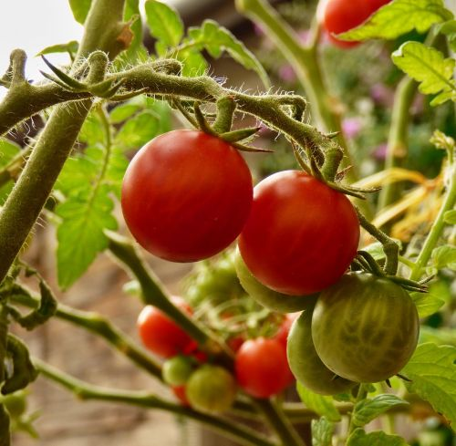 tomato vegetables cultivation