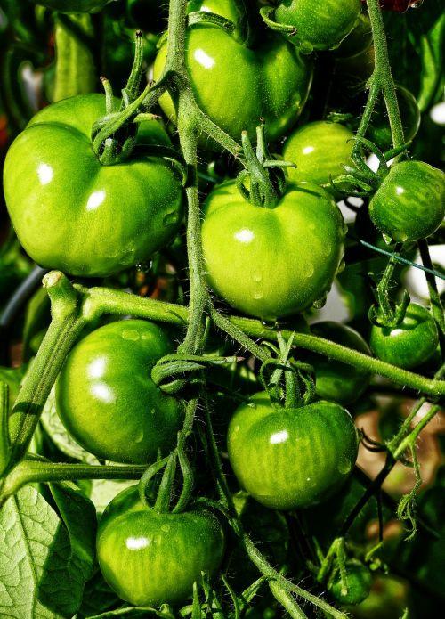 tomato panicle fried green tomatoes