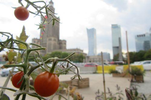 tomato warsaw composition